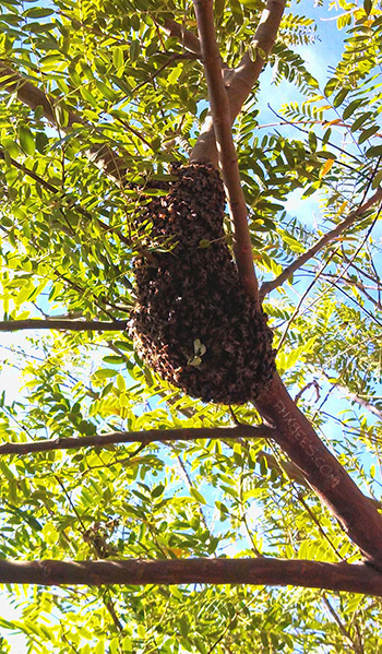 Bee Swarm in a tree Gold Canyon, AZ