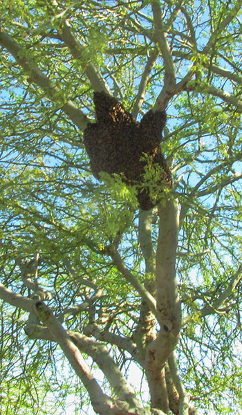 bee swarm in a tree Apache Junction