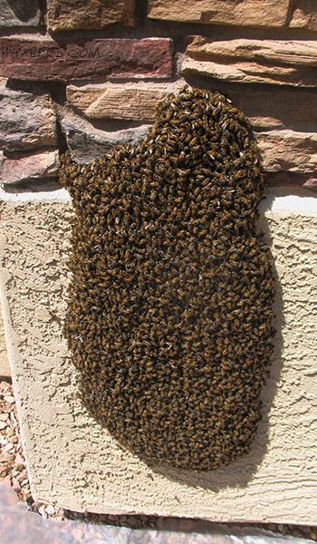 Bee Swarm on a wall Sun City West, AZ.