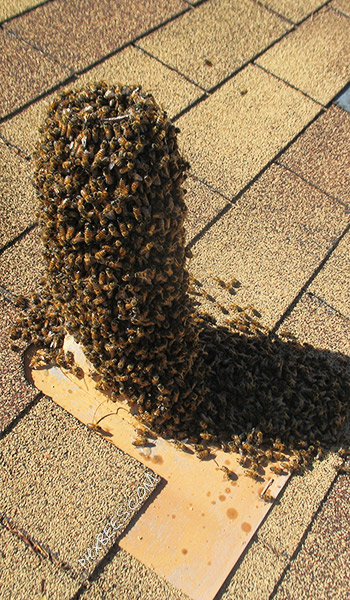 Bees in a roof vent in Gilbert, AZ.