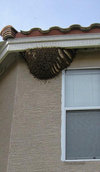 Africanized Beehive Peoria Arizona