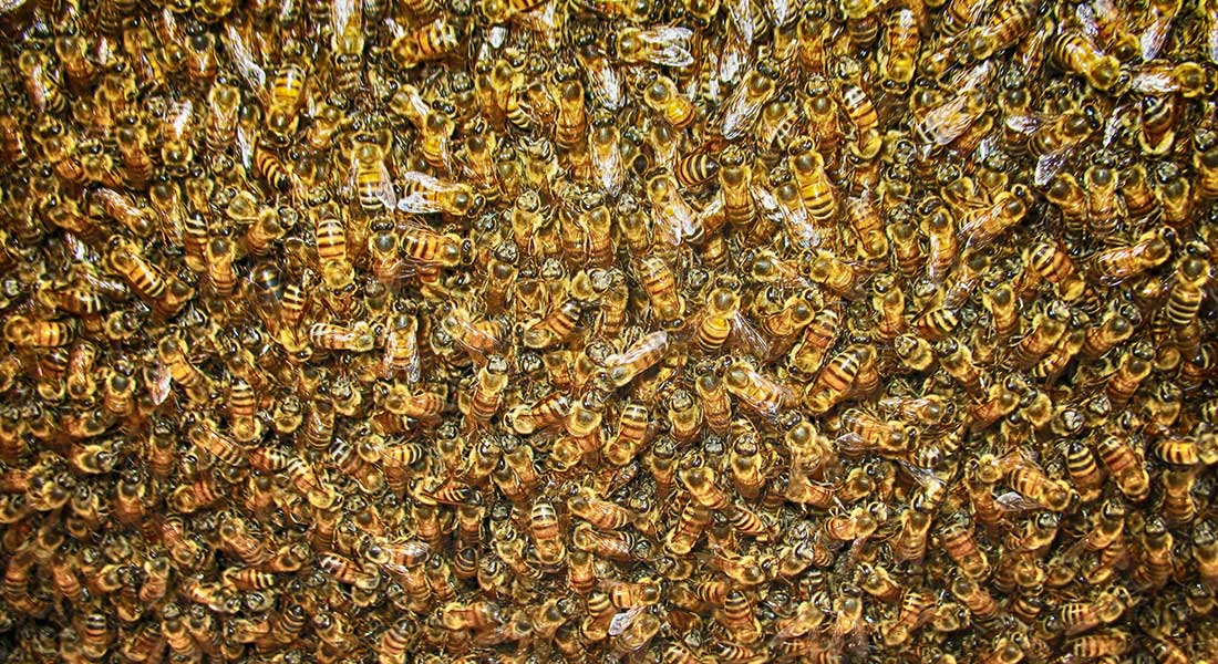 Africanized Bee Removal