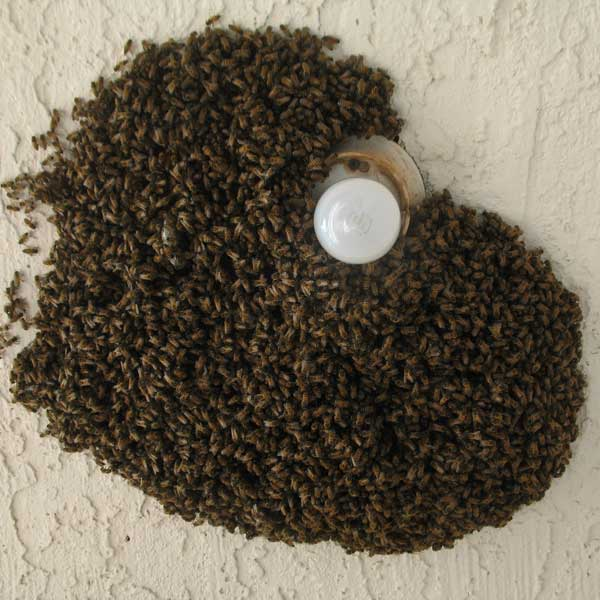 Bee Swarm on a Light Fixture