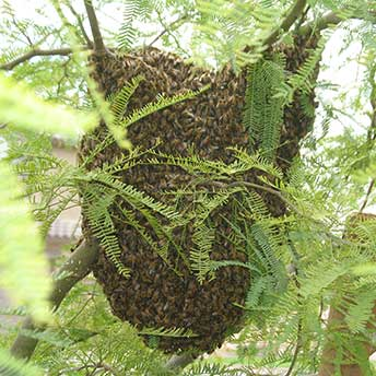 Bee swarm on a tree